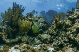 Green Moray, Rum Point Reef, Crystal Charters