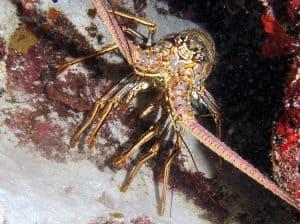 Spiny Lobster - https://reefguide.org/carib/