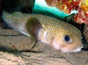 Porcupine fish - https://reefguide.org/carib/