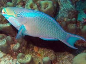 Queen Parrotfish - https://reefguide.org/carib/
