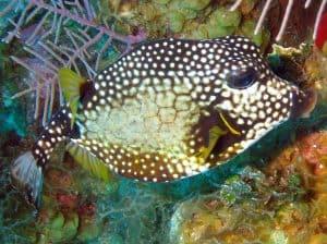 Smooth Trunkfish - https://reefguide.org/carib/